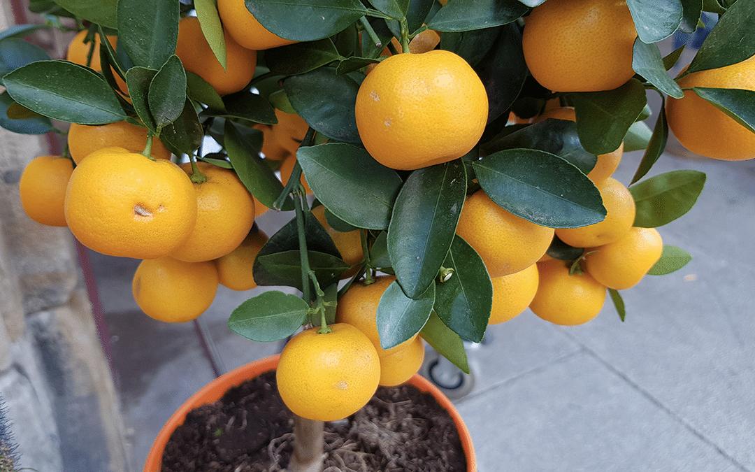 oranger et citronnier en pot