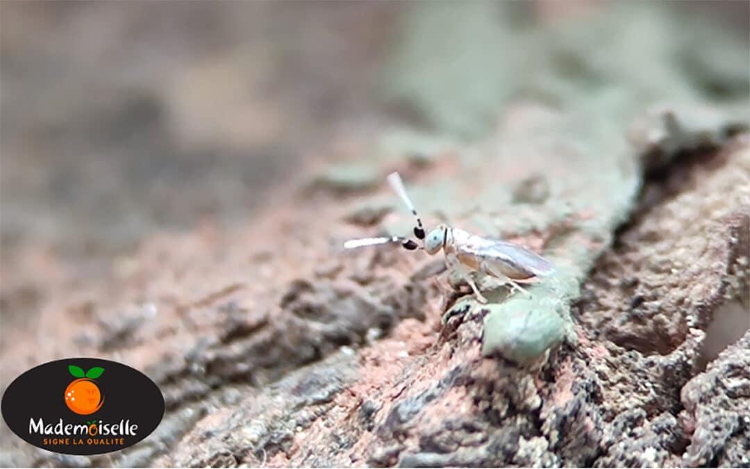 lutte biologique mademoiselle agrumes